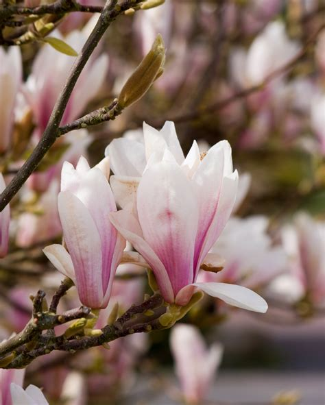 magnolia tree flowers free stock photo public domain pictures