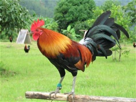 gallos de peleas de todas las razas apexwallpapers com gallos de peleas de todas las razas mejores razas de
