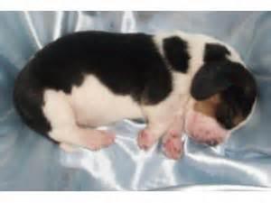 basset hound puppies illinois basset hound puppies in illinois