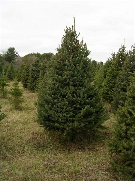 real christmas trees how to choose the perfect tree for