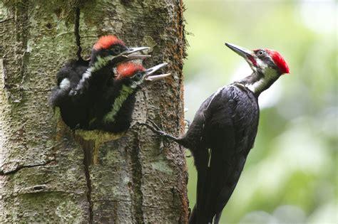 pileated woodpecker edmonton area land trust