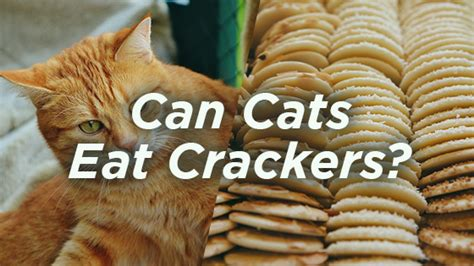 can dogs eat graham crackers can cats eat crackers pet consider
