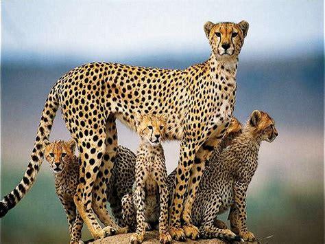 jaguar and cheetah leopard vs jaguar wallpaper