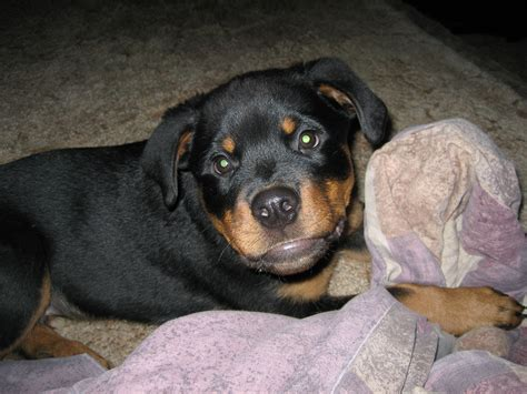 rottweiler ears ear care