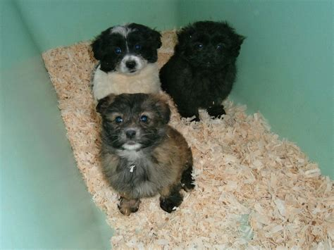 bichon frise pomeranian bichon frise cross pomeranian puppies harrow middlesex pets4homes