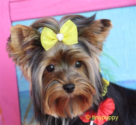 yorkie not yorkie haircuts and hairstyles tinypuppy