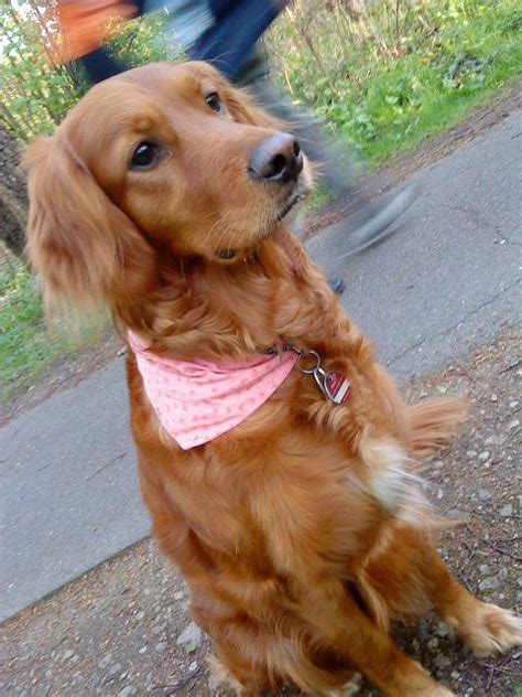 setter x golden retriever i found my a golden retriever setter mix i m almost tempted