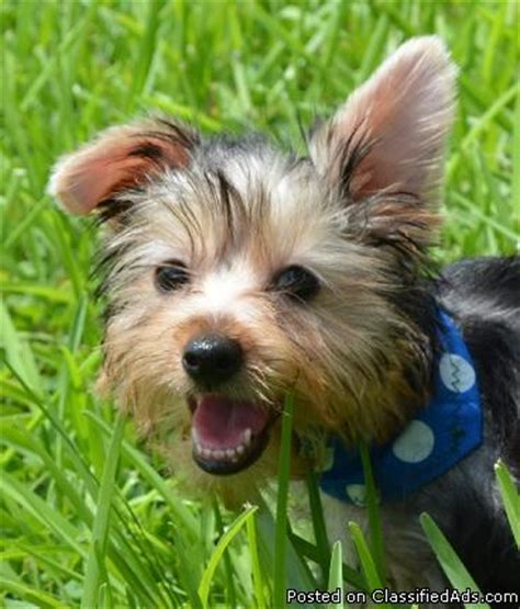 how smart are yorkies yorkie puppy smart and clever dogs best price pynprice