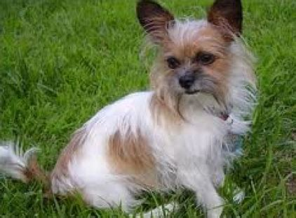 shih tzu mixed chihuahua chihuahua shih tzu mix photos archived shi chi pictures breeds picture