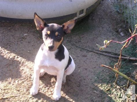 mountain feist puppies for sale feist puppies for sale in alabama breeds picture