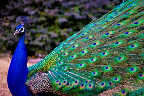 hd wallpapers for desktop beautiful peacock wallpapers hd beautiful peacock images photos wallpaper download