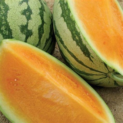 1 Pack Isi 25 Butir Benih Rock Melon benih semangka orange tendersweet
