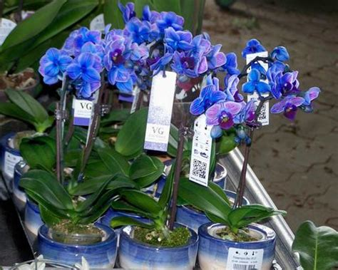 blue dyed orchids  bloody aweful  tacky isnt