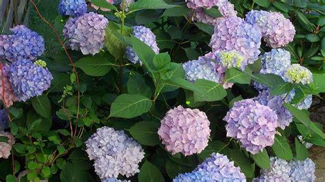 Hortensia Purple hortensia flowers in the yard barbaras hd wallpapers