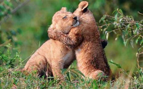 imagenes de leones romanticos cachorros de leon abrazandose