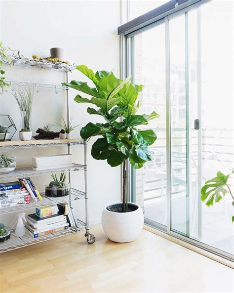 best indoor tree 10 most popular indoor trees