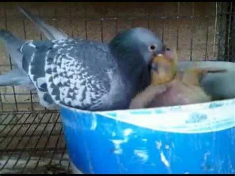 paloma alimentando  pichones youtube