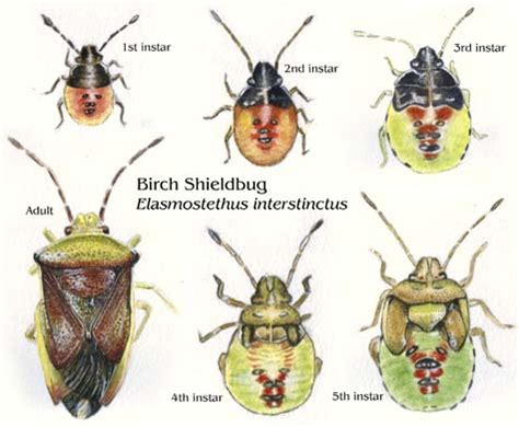 Home Plate shieldbugs illustrated life stages