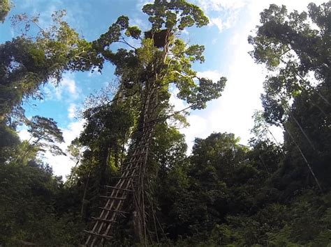 oni goes up an korowai tree house 27 m high west