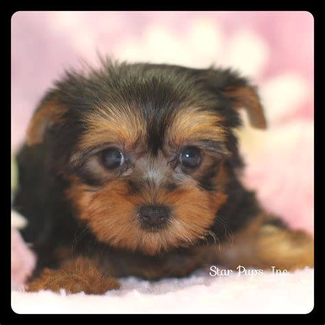 yorkie black and terrier f black and sold pups