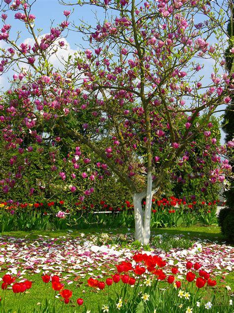 cherry tree zone 9b sacramento landscaping deciduous tree recommendations sacramento landscape