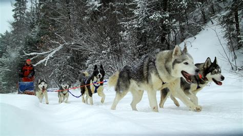 how to sled dogs sled dogs park tales