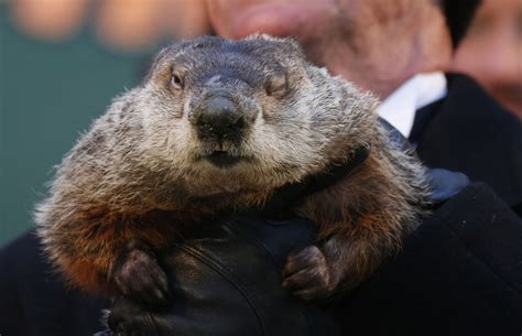 united groundhog day famed weather prognosticating groundhog punxsutawney phil