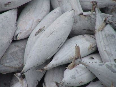 Tuna Fish Frozen frozen tuna fish miri worldbid b2b market
