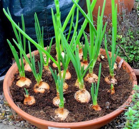 Growing Vegetables In Pots 15 Best And Easiest Vegetables Easy Garden Vegetables