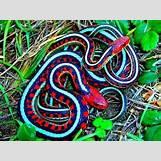 Boomslang Snake Bite | 480 x 360 jpeg 72kB