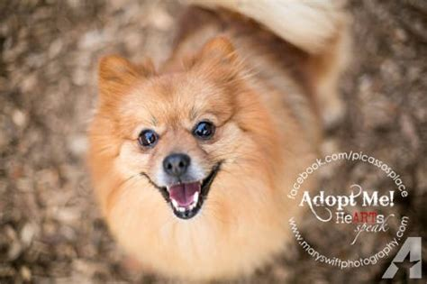 pomeranian adults for sale pomeranian billy small for sale in myersville maryland