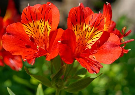 photos of flowers photos of colombia flowers alstroemeria