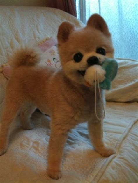 cute pomeranian haircuts 17 best images about adorable boo on pinterest cutest
