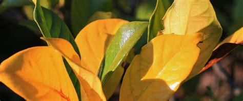 pin  gardenia plant