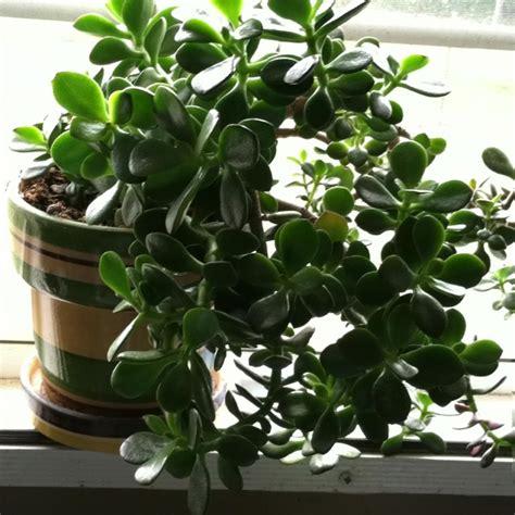 rubber tree plant plants pinterest