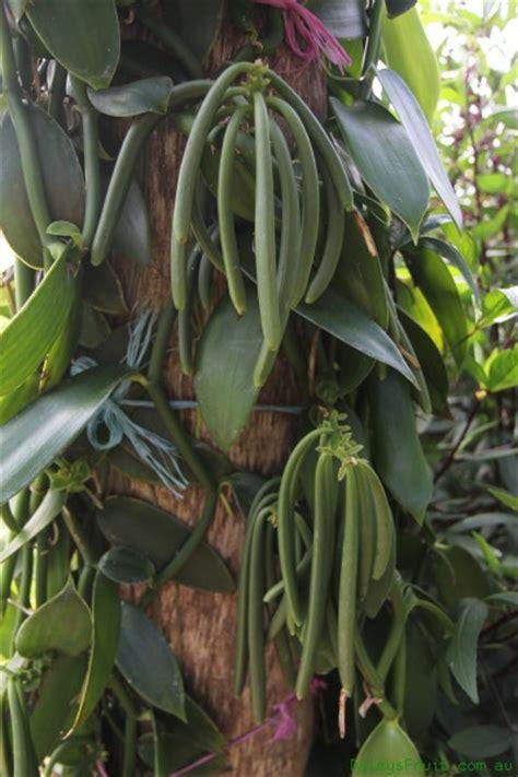 How To Grow Herbs Indoors vanilla vine vanilla planifolia