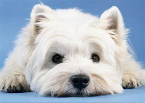 west highland white terrier puppy white west highland white terrier photo and wallpaper beautiful white