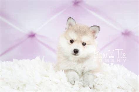 pomeranian puppies spokane wa 1st puppy 22 bowtie pomsky world