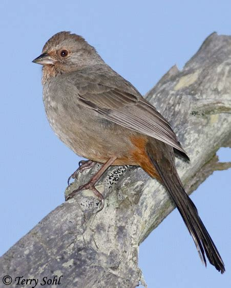 california towhee species information and photos