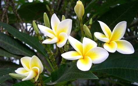 fiori di tiare autoabbronzanti profumati si pu 242