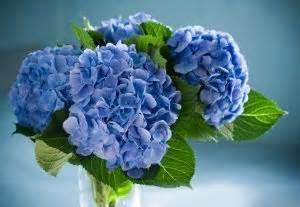 come curare l ortensia in vaso impara a curare le ortensie e a cambiar loro colore fito