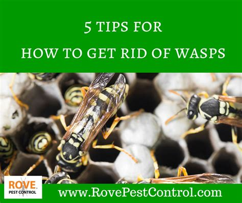 5 tips for how to get rid of wasps rove pest control
