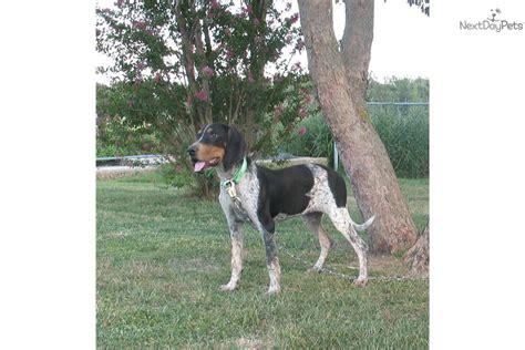 free puppies jonesboro ar bluetick coonhound puppy for sale near jonesboro arkansas 90eb4ff0 53a1