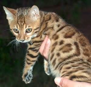 colors of the bengal cat