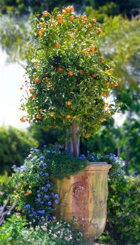 planting potted fruit trees citrus tree in anduze pot plantas y flores para perfumes