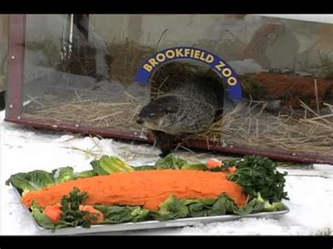 groundhog day brookfield zoo early groundhog day prediction held today at brookfield