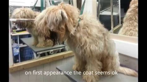 soft coated wheaten summer coat cut wheaten terrier has coat shaved off youtube