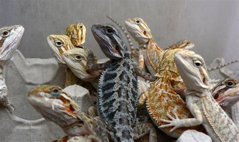 bearded colors bearded color morphs reptiles hibians