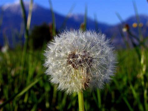 dandelion blowball stock photo freeimagescom
