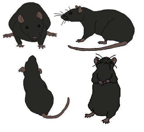 rat pattern types rat colors and patterns